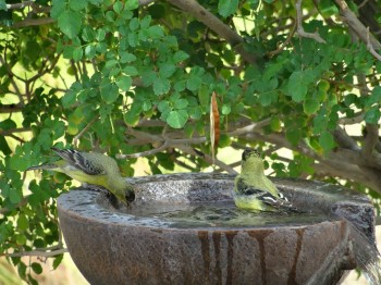 Goldfinches taking a mid-day dip.