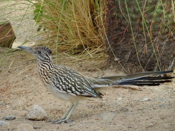 A Roadrunner just stopping by to say Hi - meep meep