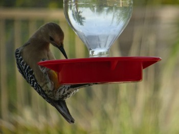 This woodpecker LOVES the hummingbird food.