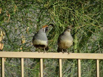 Mama and Papa Quail just hanging out on the fence.