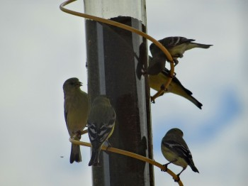 House finches flock to the thistle feeder