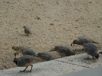 Quail and Mourning Doves like to scan the ground for seeds.