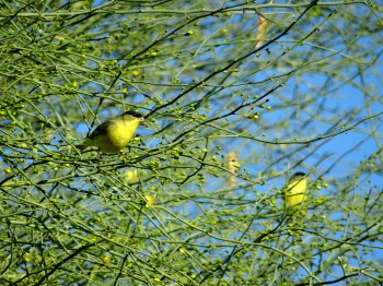 These sweet Goldfinches LOVE the Palo Verde tree!